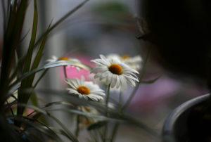 Marguerites daisies